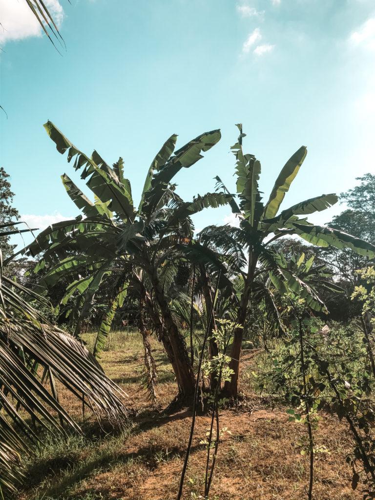 palmy w Sigiriya