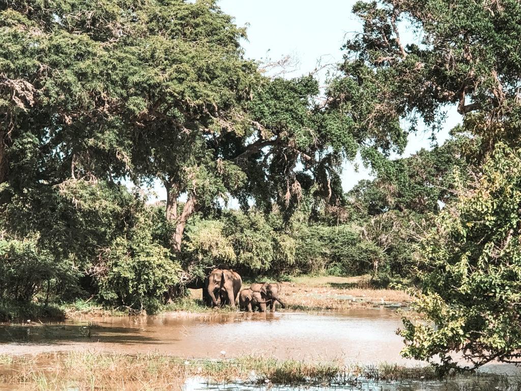 rodzina słoni w Yala National Park