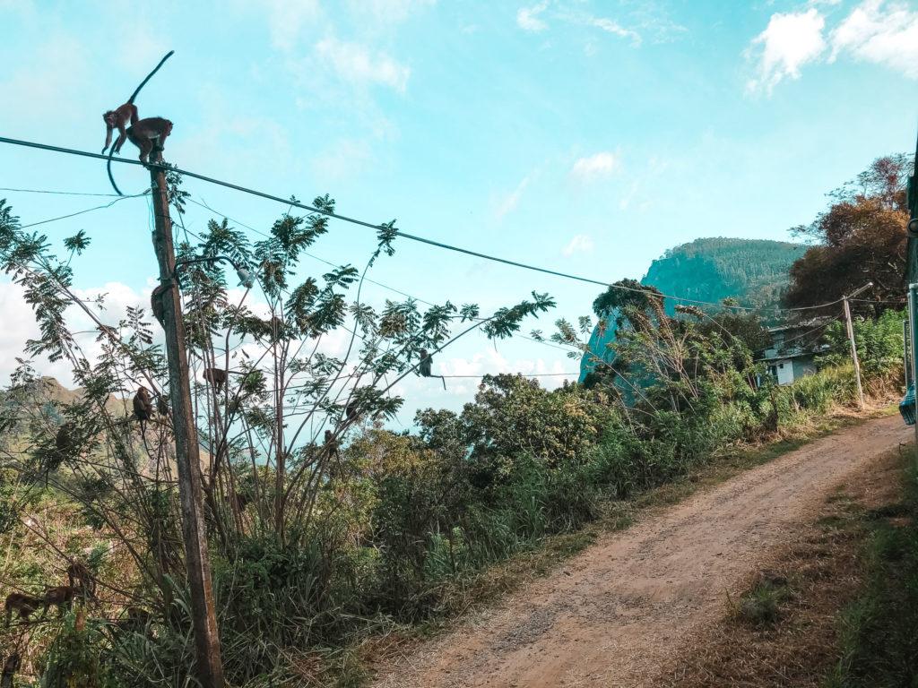 małpy skaczace po trakcji kolejoej w Ella