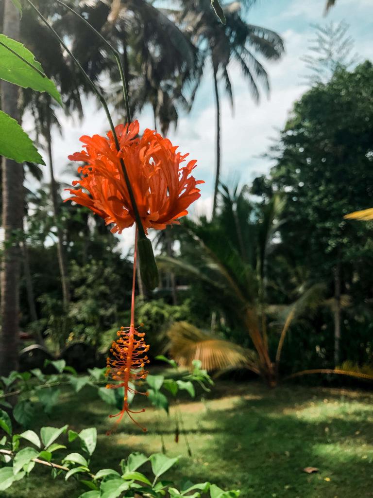 kwiaty w Tangalle Sri Lanka