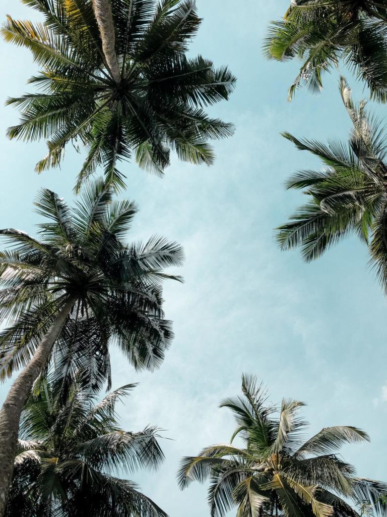 palmy w Tangalle Sri Lanka