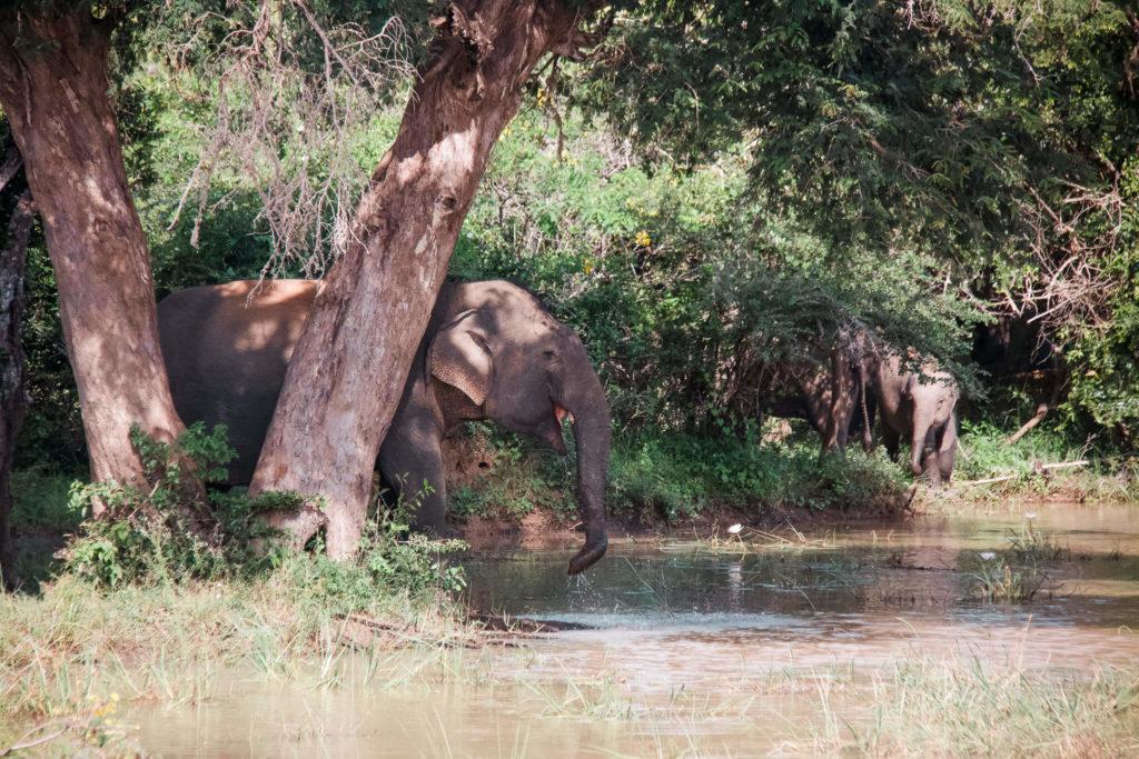 słonie w Yala, Sri Lanka safari