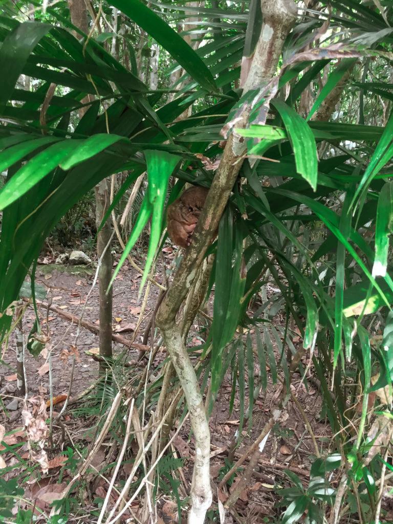 wyraki, tarsiery Bohol